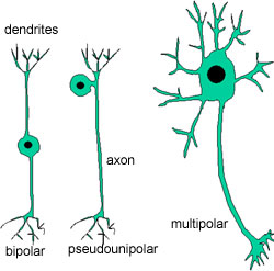 diagram of neurons