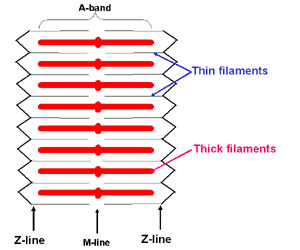 diagram of a muscle sarcomere